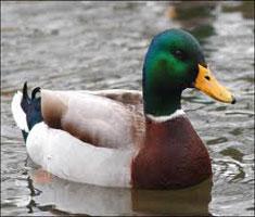 Duck Variety
